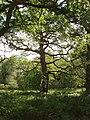 Oak tree in Blenheim Great Park - geograph.org.uk - 442339.jpg