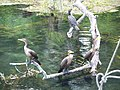Ocala Silver River birds03.jpg