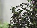 Ocimum tenuiflorum1.jpg