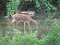 Odocoileus virginianus (white-tailed deer) 4 (8269184585).jpg