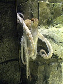 paul the octopus wikipedia