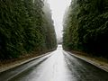 Old Growth Forest along US 101 in Washington.jpg