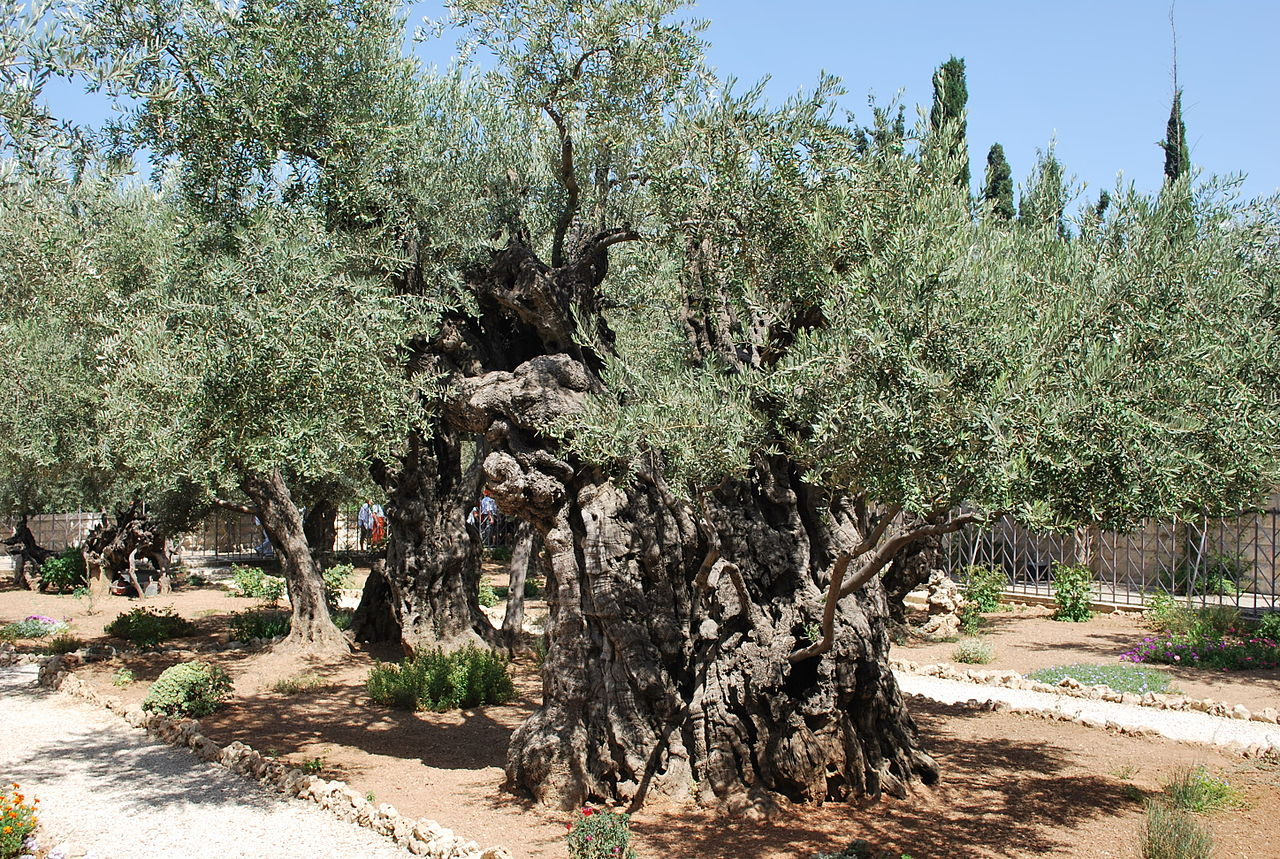 File Olive Trees In The Garden Of Wikimedia Commons