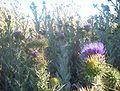 Onopordum acanthium Canberra.jpg
