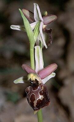 Tyrrhenische Ragwurz (Ophrys tyrrhena)