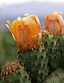 Opuntia ficus-indica (3573444187).jpg