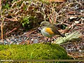 Orange-flanked Bush Robin (Tarsiger cyanurus) (32800278771).jpg