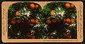 Orange Blossoms and Fruit, Los Angeles, Cal., U.S.A, by Singley, B. L. (Benjamin Lloyd) 5.jpg