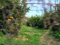 Orange grove from the car (356319434).jpg