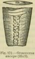 Ormoceras anceps.png