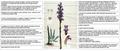 Orobanche purpurea Flora Batava DESC.png