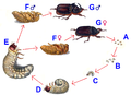 Oryctes nasicornis life cycle pngRhinoceros Beetle Life Cycle