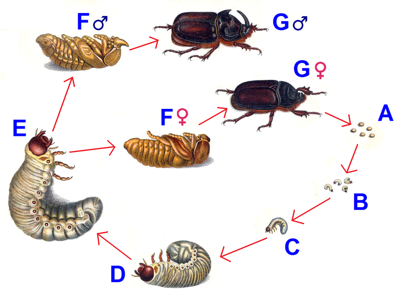Life cycleRhinoceros Beetle Life Cycle