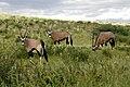 Oryx gazella in the Kgalagadi Transfrontier Park 001.jpg