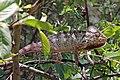 Oustalet's chameleon (Furcifer oustaleti) male Anja Community Reserve.jpg