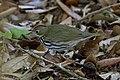 Ovenbird Hooks Wood High Island TX 2018-04-11 09-26-45 (41808935521).jpg
