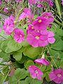 Oxalis bowiei LeavesFlowers BotGardBln0906.JPG