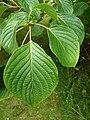 P1000344 Cornus controversa (Cornaceae) Leaf.JPG