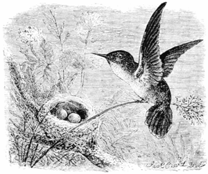 PSM V55 D059 Vervain hummingbird and nest.png