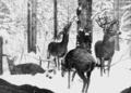PSM V63 D094 Virginia red deer in the winter.png
