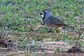 Pachycephalidae - Crested Bellbird.jpg