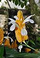 Pachystachys lutea - blossom - Stadtgärtnerei Zürich - 20100919.jpg
