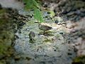 Pacific Black Ducks in Creek Bed (5156258002).jpg