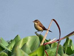 Paddyfield Warbler (Acrocephalus agricola) in Kolkata Im IMG 0496
