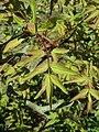 Paeonia suffruticosa 2019-04-16 1010.jpg
