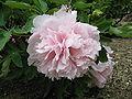 Paeonia suffruticosa cv3.jpg