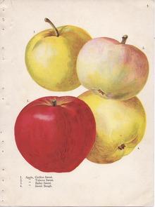 List Of Apple Cultivars