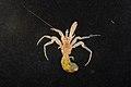 Paguridae (MNHN-IU-2013-2444).jpeg