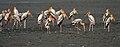 Painted Stork (Mycteria leucocephala) in Kolleru, AP W IMG 4157.jpg
