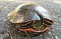 Painted Turtle With Shell Repairs (37357445350).jpg