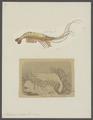Palaemon serrata - - Print - Iconographia Zoologica - Special Collections University of Amsterdam - UBAINV0274 097 09 0003.tif