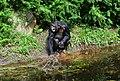Pan troglodytes - Serengeti-Park Hodenhagen 10.jpg