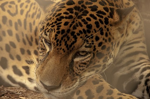 Pantera onca. Jaguar Places to Visit in Costa Rica