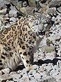 Panthera uncia - Zoo Karlsruhe 01.jpg