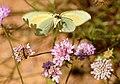 Papallones de casa meva - Llimonera taronja - Gonepteryx cleopatra (5165785095).jpg