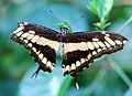 Papilio cresphontes - Papiliorama, Swiss Tropical Gardens - 20100417.jpg