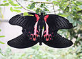 Papilio deiphobus rumanzovia, mating.jpg