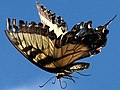 Papilio glaucus-female flying.jpg