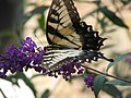 Papilio glaucus 3zz.jpg