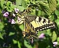Papilio machaon DVRZ2.jpg