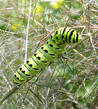 Papilio -  Papilio polyxenes caterpillar on fennel (Foeniculum vulgare)