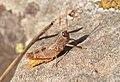 Paracaloptenus caloptenoides m.jpg
