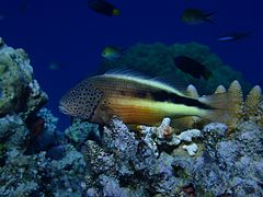 Black-sided hawkfish or freckled hawkfish (Paracirrhites forsteri)