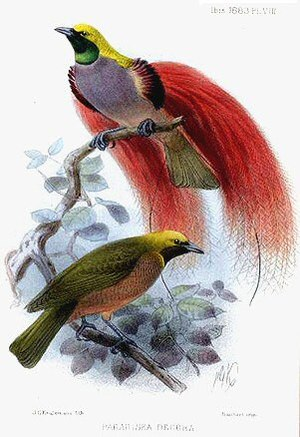 Goldie's bird-of-paradise - Illustration of male (above) and female (below)