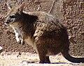 Parma Wallaby Macropus parma.jpg