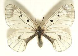 Parnassius.mnemosyne.mounted.jpg